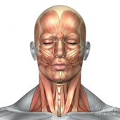 gallery/human-head-and-neck-muscle-diagram-labeled-color-image-digital-art-anatomy-of-face-muscles-by-images-2